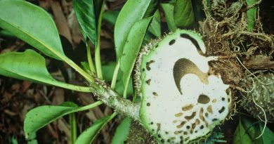 Mengenal Sarang Semut, Obat Kanker Alami